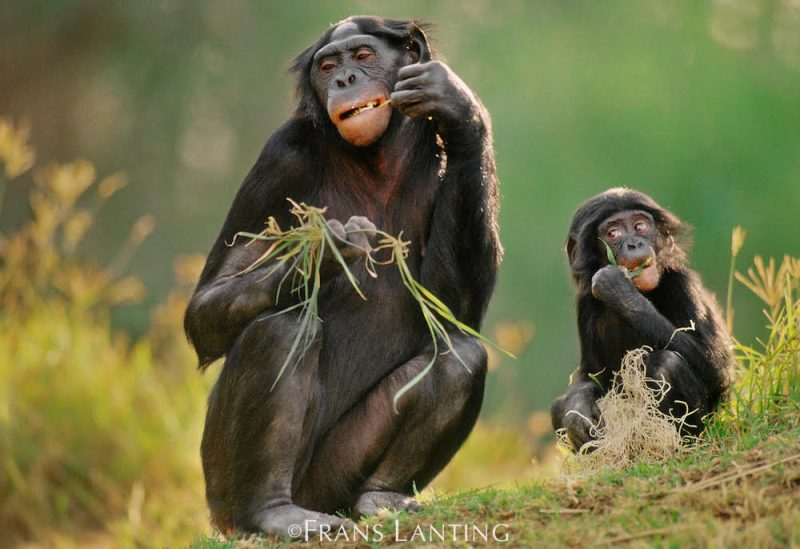 Bonobos in the Congo by Frans Lanting A2A - Destination Deluxe