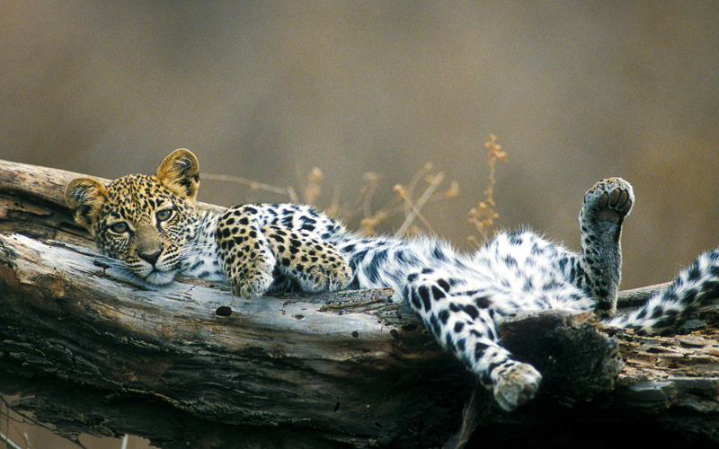 Leopard Charlotte Travel - Destination Deluxe