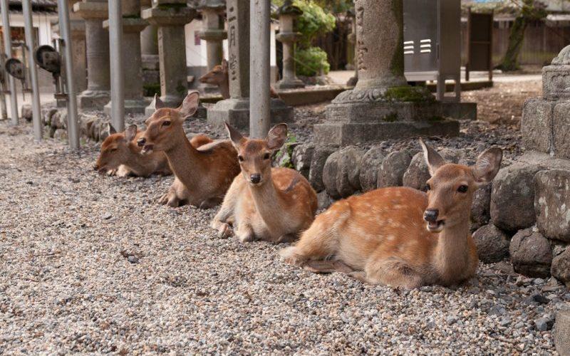 Nara Deer - Destination Deluxe