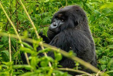 Gorillas Rwanda 2020 Bucket List Destination - Destination Deluxe