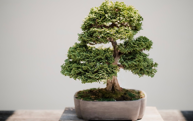 Bonsai Indoor Gardening - Destination Deluxe