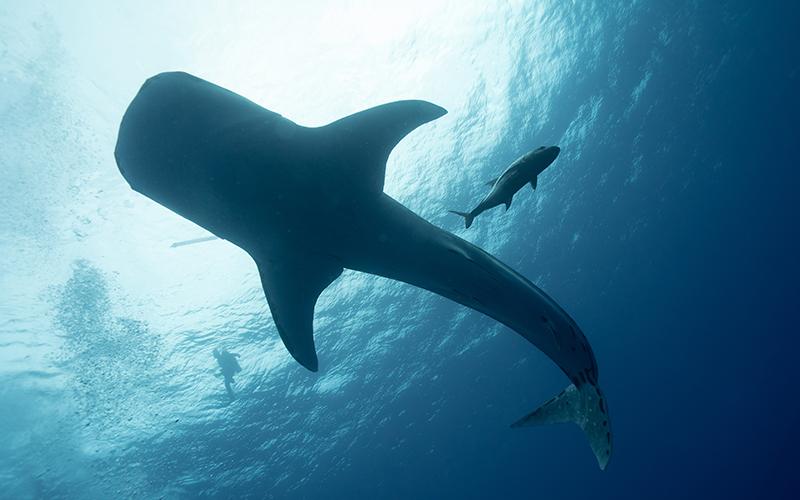 Palawan Whaleshark Banwa Private Island - Destination Deluxe