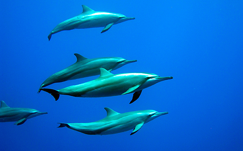 Gili Lankanfushi Maldives Dolphins - Destination Deluxe