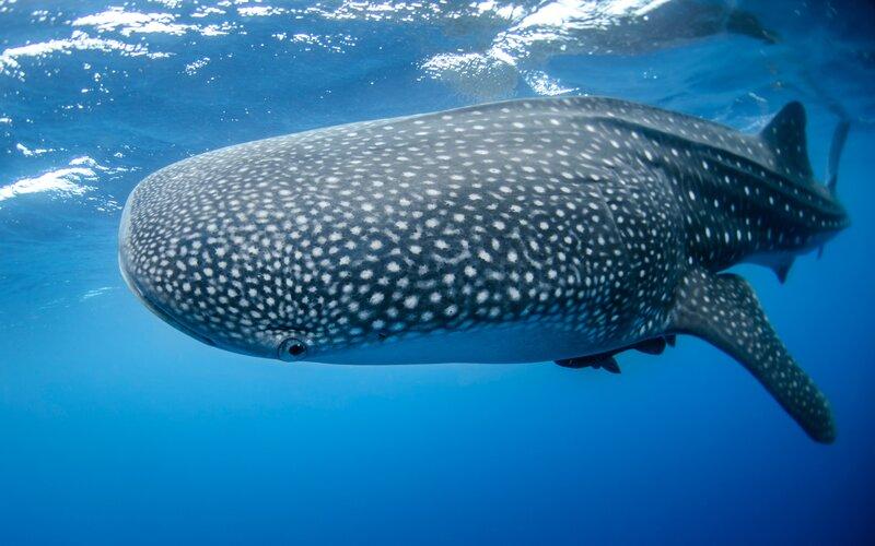 Adventure Activities Mexico Whale Shark - Destination Deluxe